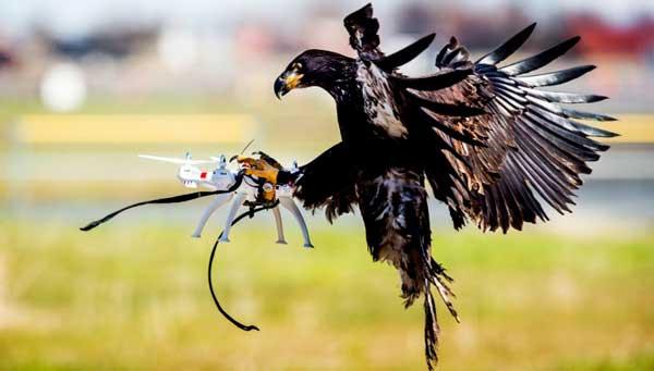 Holanca entrena águilas para capturar drones.