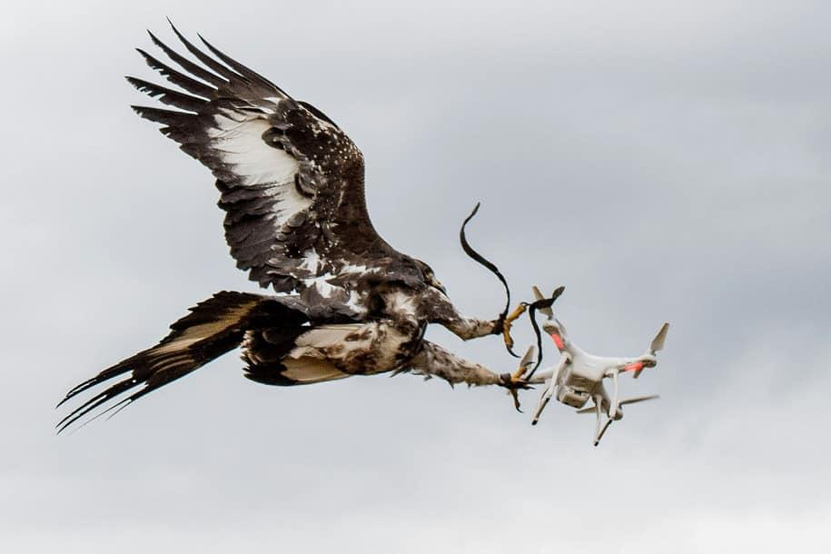 Las águilas anti-drones ahora serán usadas en Francia.