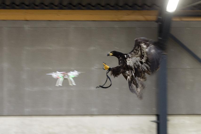 Águilas para cazar drones en Holanda.